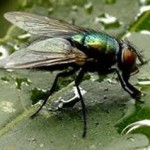 Las moscas y otros insectos no orinan.