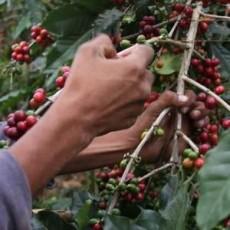 El café elaborado con frutos maduros no es irritante.