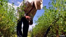 La stevia se ha usado durante siglos en Paraguay y Brasil.
