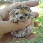 Mide de 10 a 22 centímetros y vive de 4 a 6 años.