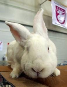 Los conejos pueden morir de ataques al corazón por miedo.